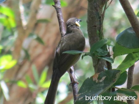 lewins honeyeater_binna burra_named_nov 2014