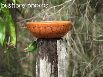 musk lorikeet_02_home_named_nov 2014