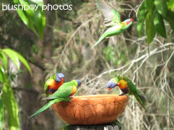 musk lorikeet_rainbow lorikeets01_home_named_nov 2014