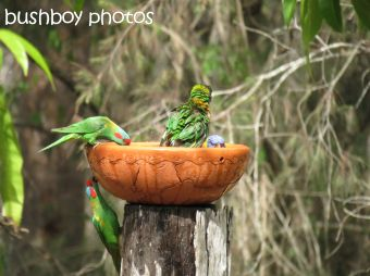 musk lorikeet_rainbow lorikeets02_home_named_nov 2014