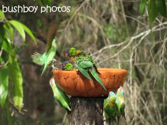 musk lorikeet_rainbow lorikeets03_home_named_nov 2014