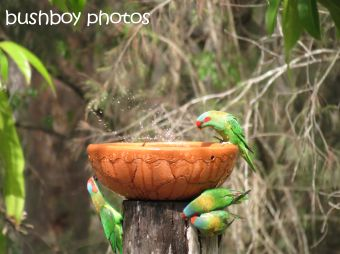 musk lorikeet_rainbow lorikeets06_home_named_nov 2014