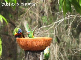 musk lorikeet_rainbow lorikeets07_home_named_nov 2014 - Copy