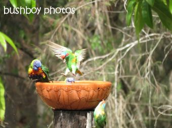 musk lorikeet_rainbow lorikeets08_home_named_nov 2014 - Copy