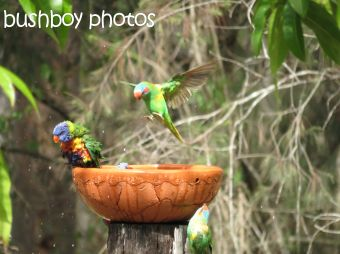 musk lorikeet_rainbow lorikeets09_home_named_nov 2014 - Copy