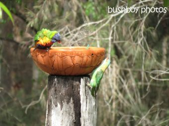 musk lorikeet_rainbow lorikeets12_home_named_nov 2014