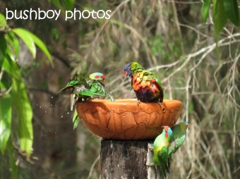 musk lorikeet_rainbow lorikeets14_home_named_nov 2014