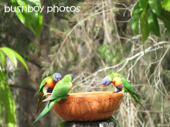musk lorikeets13_rainbow lorikeets_named_home_nov 2014