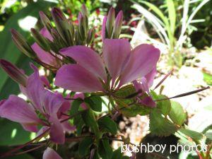pelagonium_binna burra_named_nov 2014