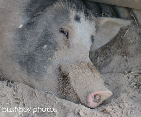 pig01_nymboida_named_nov 2014
