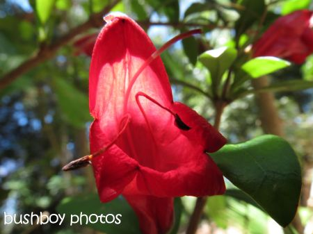 red flower_binna burra_named_nov 2014
