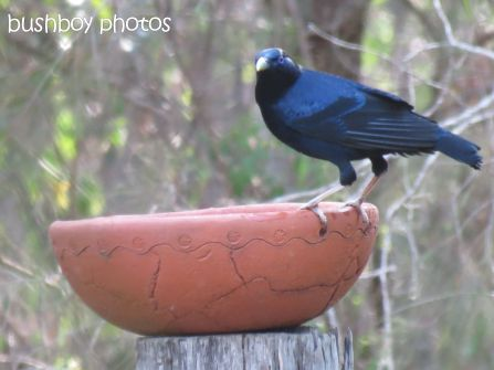 satin bowerbird_named_home_nov 2014