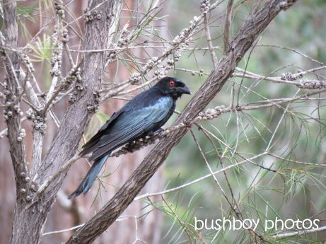 spangled  drongo01_named_home_nov 2014
