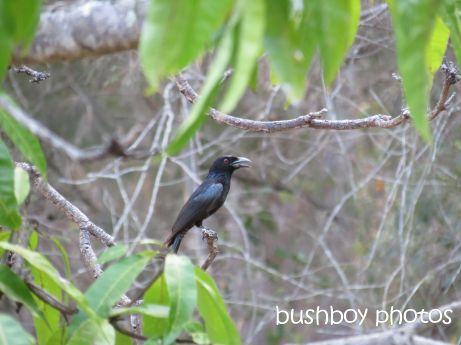 spangled drongo_home_named_nov 2014