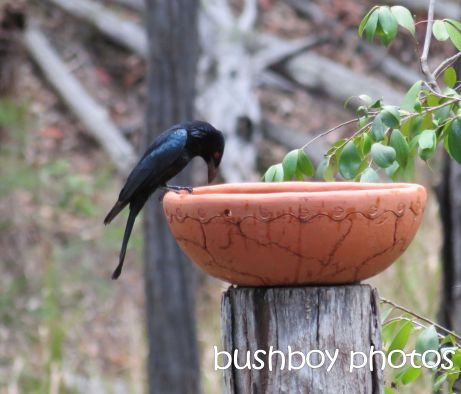 spangled  drongo_named_home_nov 2014