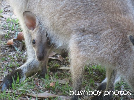 wallaby_joey_home_named_nov 2014