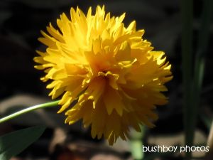 yellow flower_binna burra_named_nov 2014