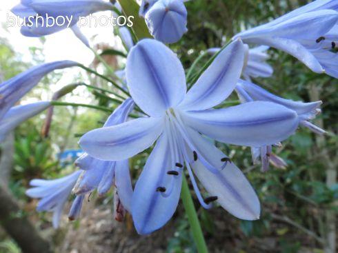 blue agapanthus_named_home_dec 2014