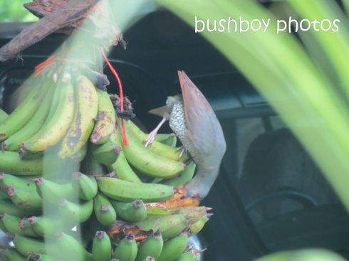 catbird01_binna burra_named_dec2014