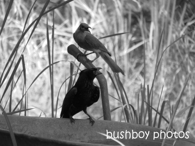 spangled drongo_friarbird_hot_b&w_home_named_dec 2014