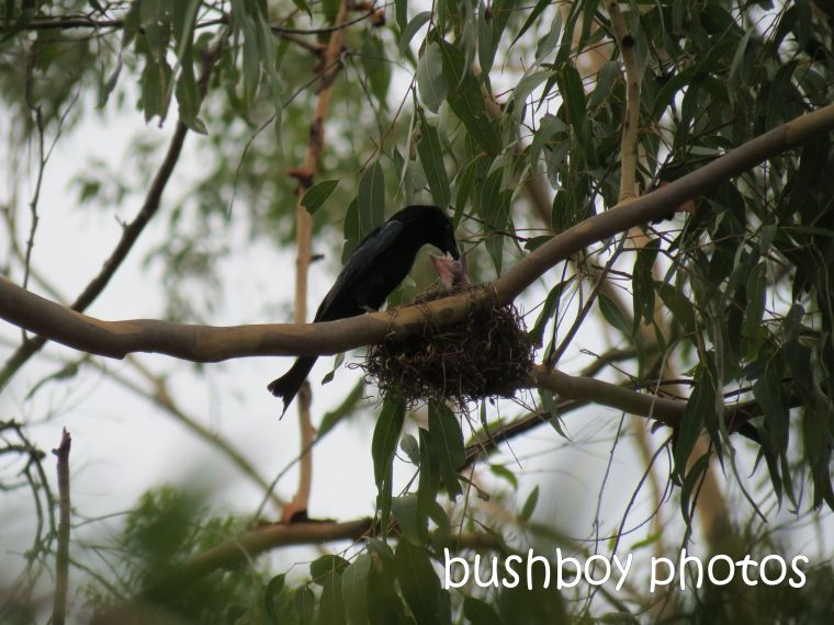 spangled drongo_young_named_dec 2104