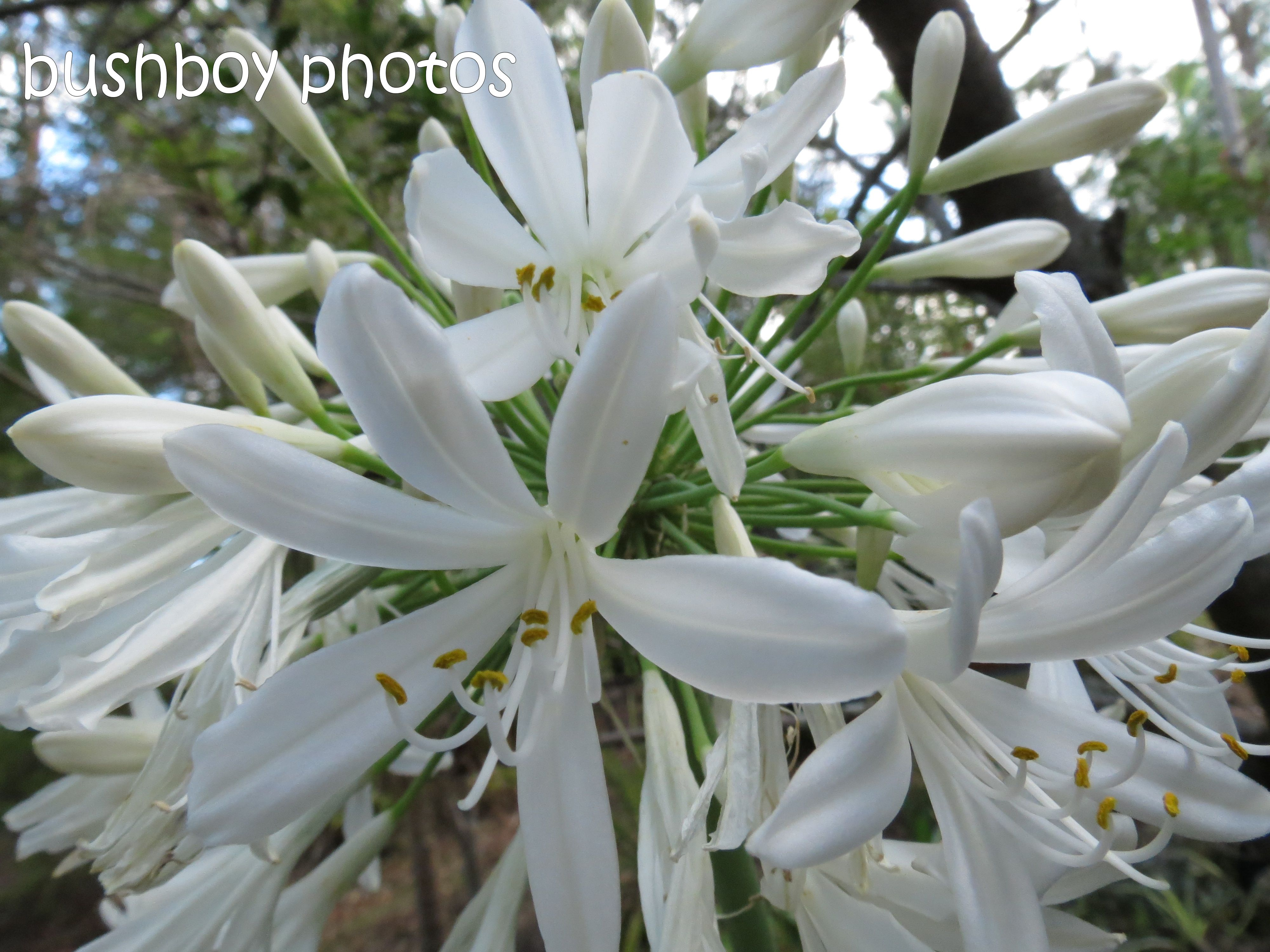white agapanthus_named_home_dec 2014