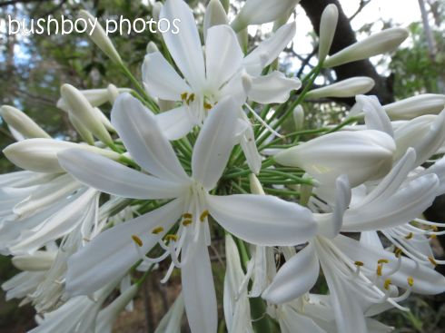 white agapanthus_named_home_dec 2014