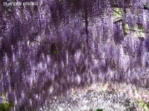 wisteria_florence_named_april 2012