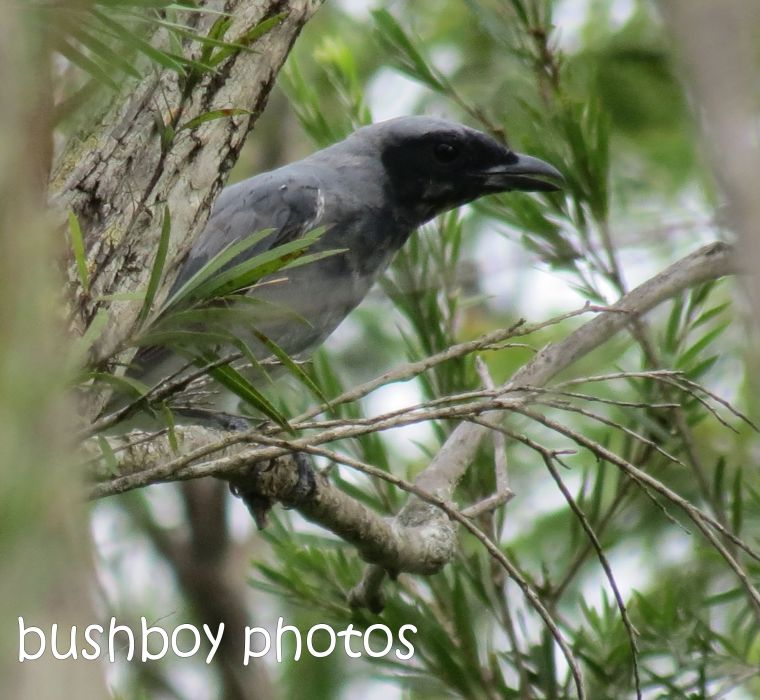 black-faced cuckoo shrike_named_crop_eatonsville_jan 2014