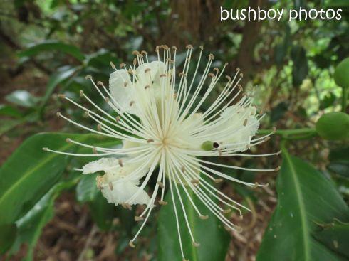 caper berry flower_named_binna burra_jan 2015