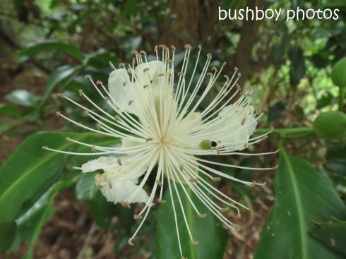 caper berry flower_named_binna burra_jan 2015