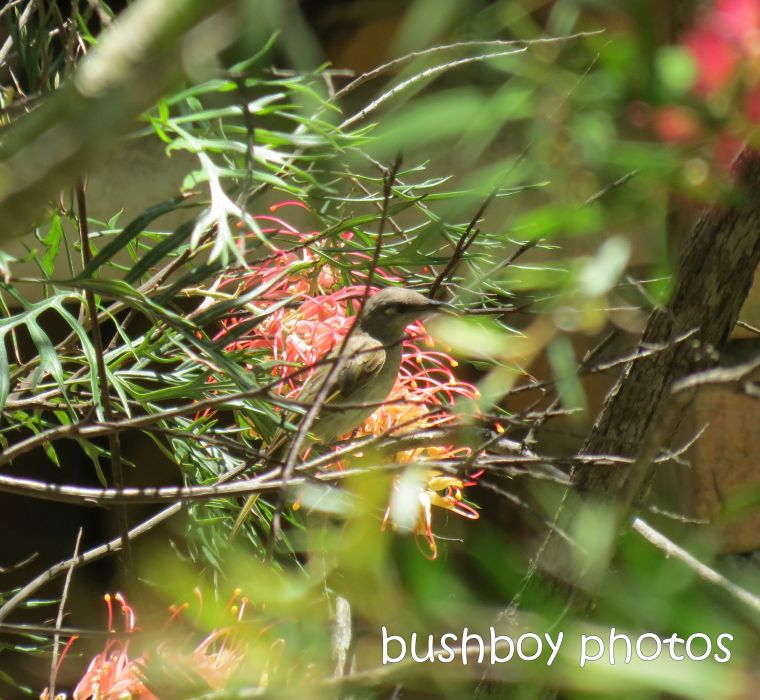 fuscous honeyeater_crop_named_home_jan 2015