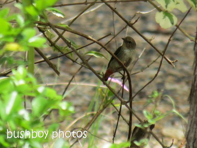 mistletoe bird_female_named_home_jan 2015