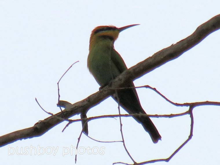 rainbow bee eater01_named_jackadgery_jan 2015