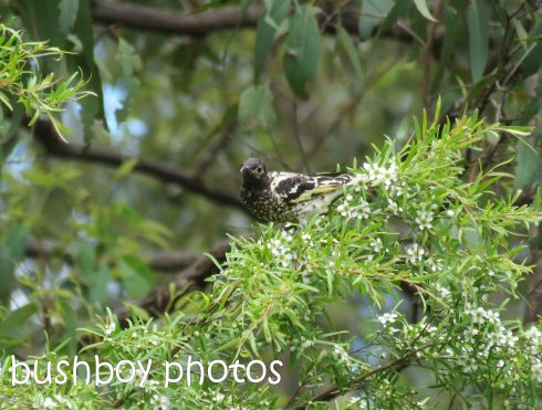regent honeyeater03_named_crop_home_jan 2015