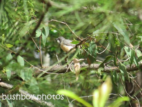 rufous whistler01_young_named_home_jan 2015