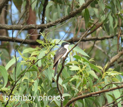 satin flycatcher_named_crop_home_jan 2015
