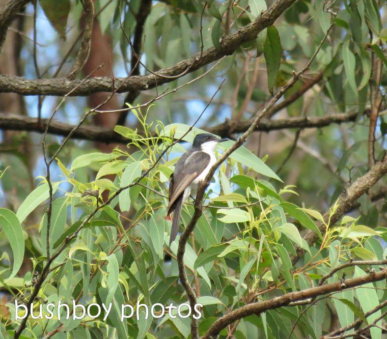 satin flycatcher_named_crop_home_jan 2015