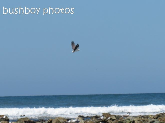 sea eagle01_named_brooms head_jan 2015