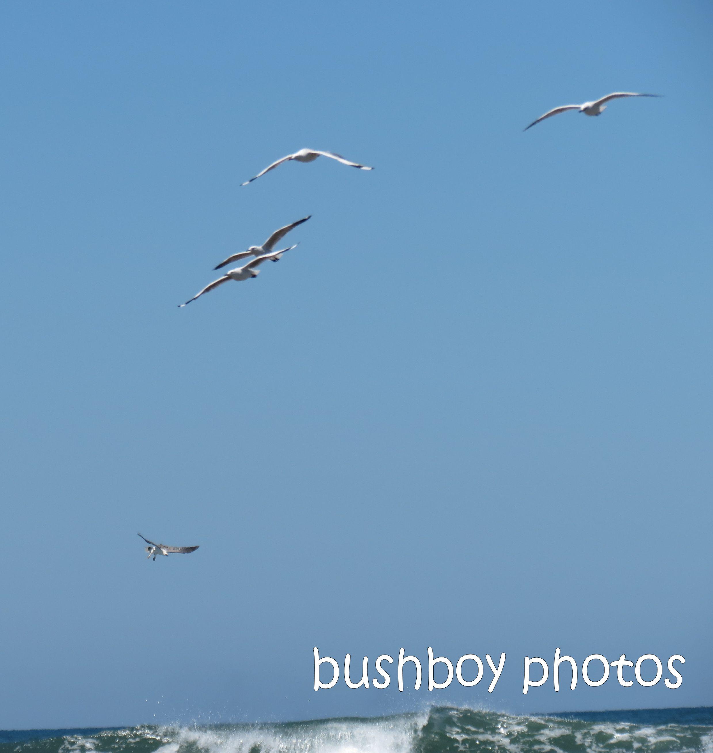sea eagle_gulls_named_brooms head_jan 2015