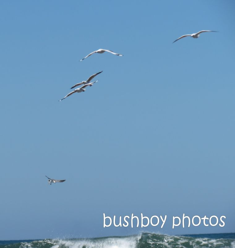 sea eagle_gulls_named_brooms head_jan 2015