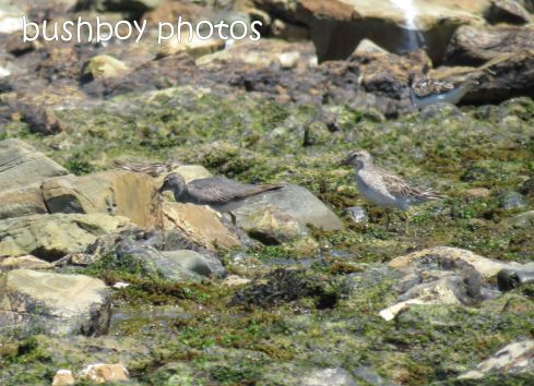sharp-tailed sandpiper_grey-tailed tattler_named_brooms head_jan 2015
