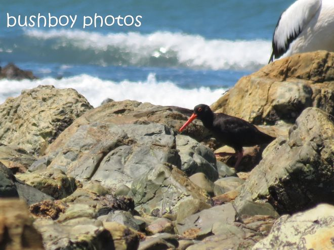 sooty oystercatcher_named_brooms head_jan 2015