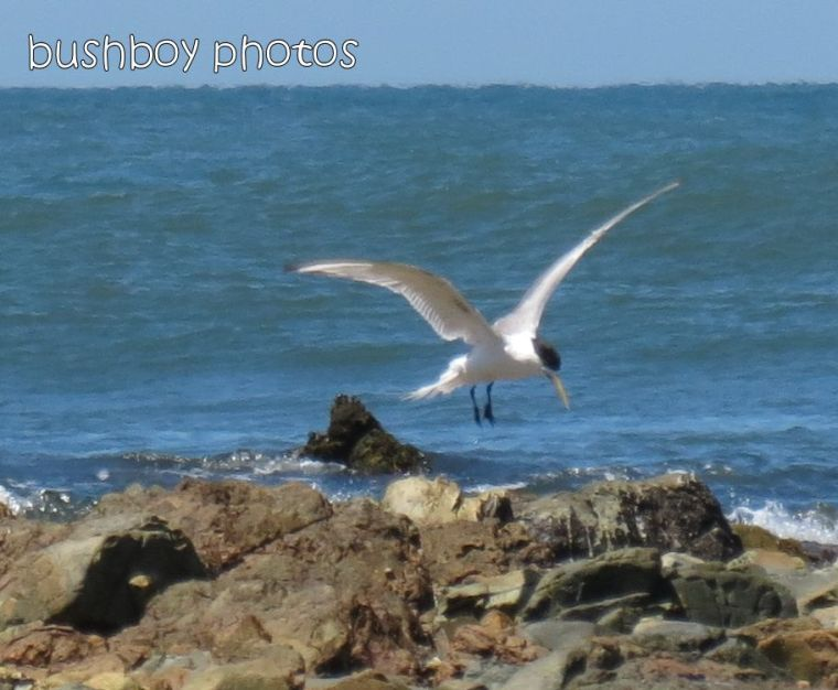 tern_named_brooms head_jan 2015