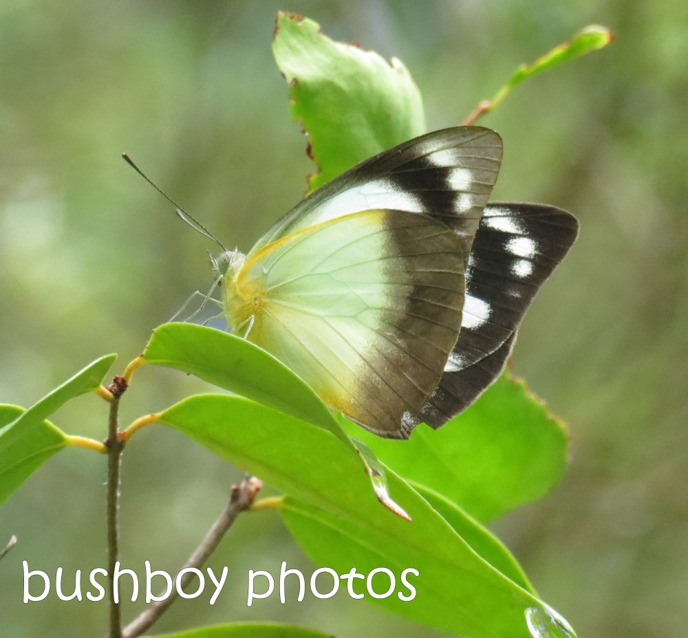 Februarys butterflies (4/6)