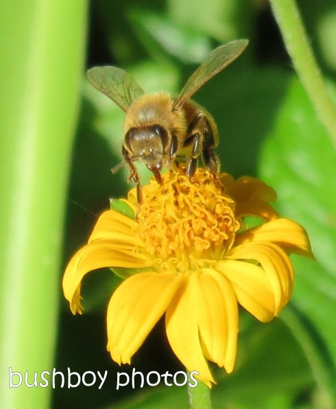 bee_named_crop_binna burra_feb 2015