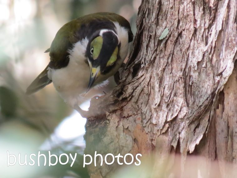 blue-faced honeyeater_named_binna burra_feb 2015