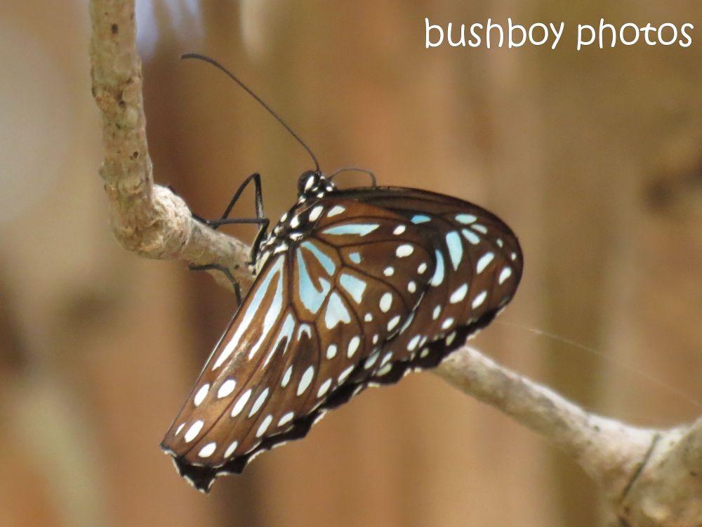 Februarys butterflies (1/6)