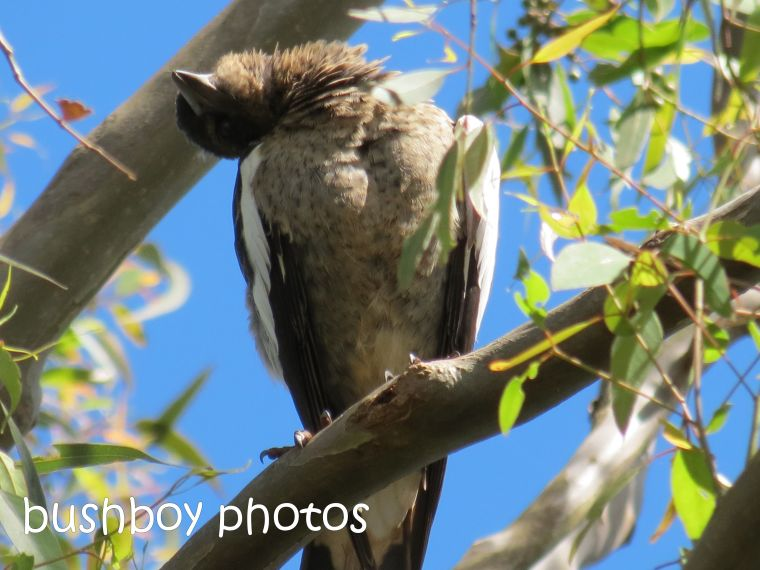crazy bird_named_binna burra_feb 2015