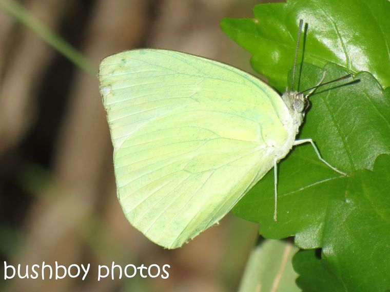 lemon migrant butterfly_named_home_feb 2015
